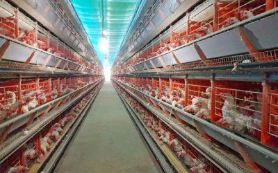 McDonald's começa a comprar ovos de galinha livre de gaiola