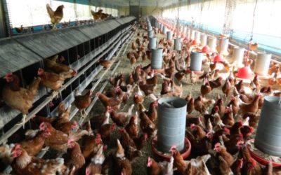 Cage-free: produção de galinhas criadas sem gaiolas respeita o bem-estar animal